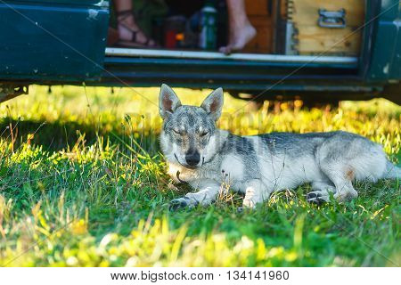 domesticated wolf dog resting relaxed on a meadow in shadow of caravan car. Czechoslovakian shepherd