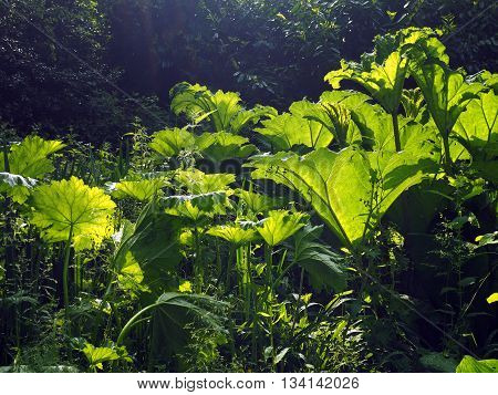 Gunnera plant in spring with sunlit leaves