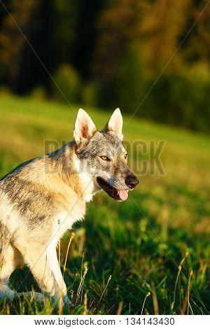 domesticated wolf dog on a meadow. Czechoslovakian shepherd