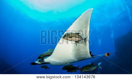 Pacific Manta Ray at Islas Revillagigedos, Mexico