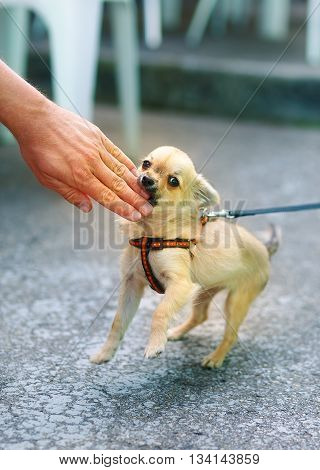 little charming adorable chihuahua puppy on blurred background. Attacking a persons hand. Eye contact