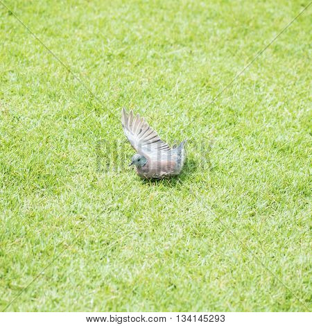 The pigeon playing water drop from springer for cool down in the afternoon on grass floor in the public park