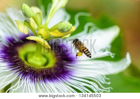 Exotic beautiful flower of Passiflora Foetida or Wild Maracuja and bee flying over it to find nectar and pollinate.