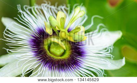Exotic beautiful white and purple carpel flower of Passiflora Foetida or Wild Maracuja 16:9 wide screen