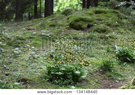 Wild growing lady-slipper orchids (Cypripedium calceolus) on a forest floor in central Europe.