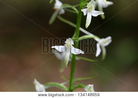Flower of the lesser butterfly orchid (Platanthera bifolia) a wild growing orchid in Europe.