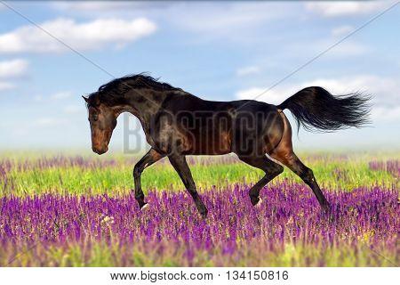 Bay horse run in flower field at summer day