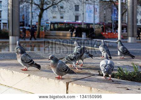 Feral Pigeons (Columba Livia Domestica), Bristol City Centre, England