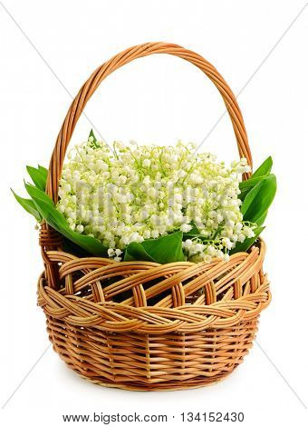 Fresh wild lilies of the valley in basket isolate on white background.