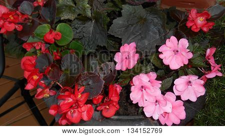 Pink New Guinea Impatiens and Red Begonias
