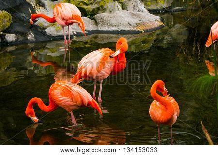 Flamenco rosado tomando agua en un estanque
