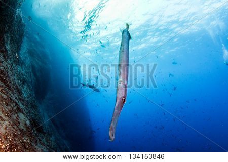 Flute Fish at Islas Revillagigedos in Mexico