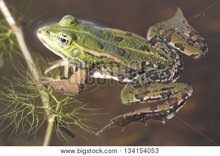 the green frog in the puddle in France