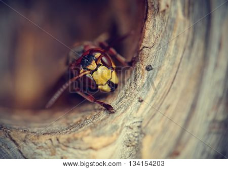 Portrait of a big wasp - a hornet about an entrance to a nest.