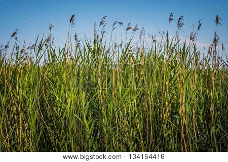 Green reeds and blue sky close to a lake