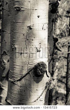 Aspen Bark Closeup