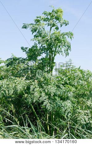 The hemlock (Conium maculatum) poisonous plants in the ditch.