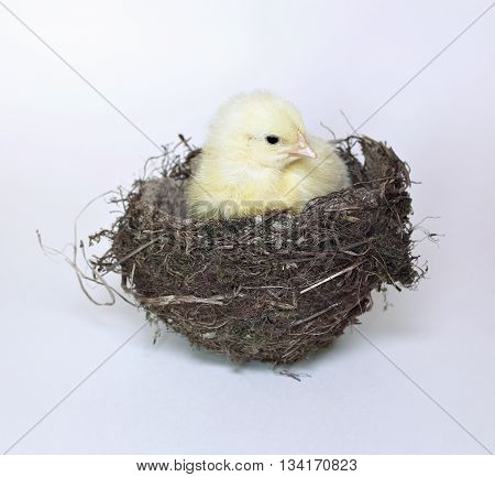 Nestling little yellow chick in bird nest of grass and twigs isolated on white background