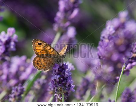 The hay butterfly (Coenonympha pamphilus) lavender flower.
