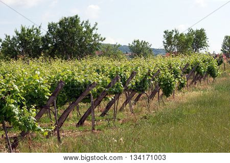 The plantation poles support the vines on the hillside.