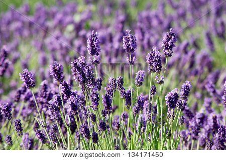 Spring summer opening of lavender (Lavandula angustifolia).