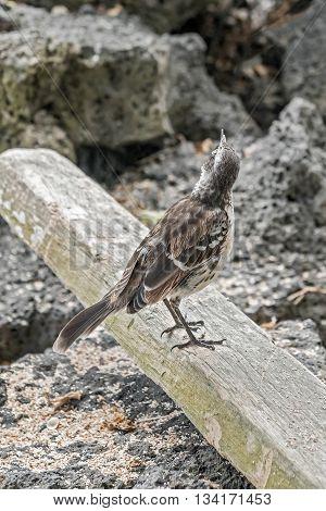 Galapagos Mockingbird In Santa Cruz Island.