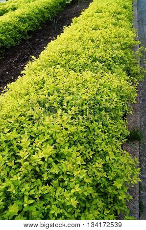Decorative stunted shrubs with beautiful small bright green leaves on the flower bed in the park