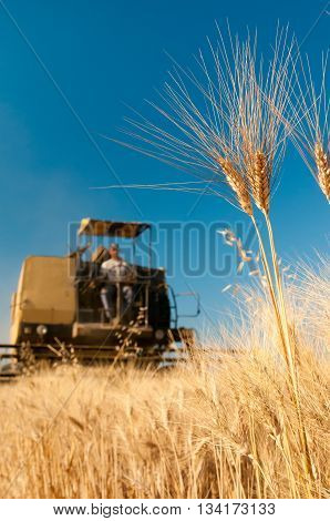 Wheat Harvesting Time