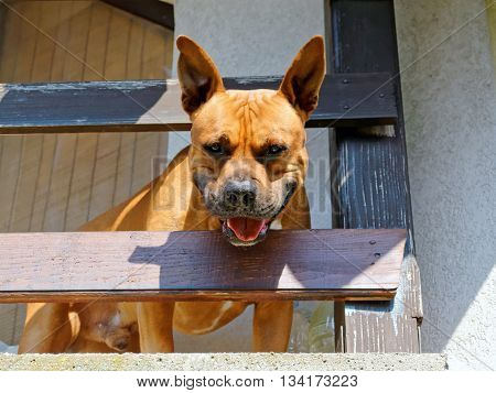 American Staffordshire bull terrier barking on the balcony.