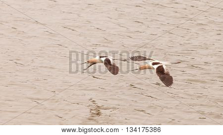 American Avocet shorebirds, Recurvirostra Americana, fly over a marsh in Southern California in spring