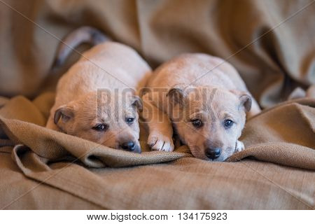 Two little puppies of a mongrel lying on a brown fabric cover.