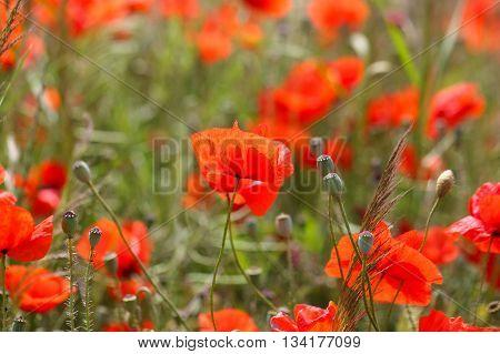 Flowers of common poppy (Papaver rhoeas) in a field.