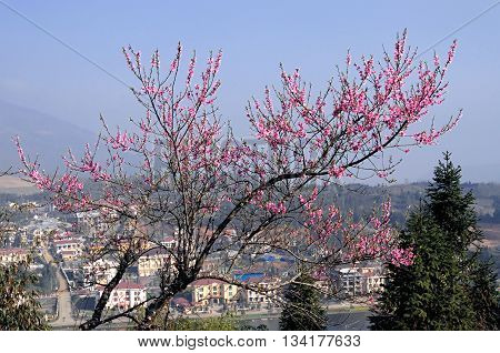 SAPA. VIET NAM, February 18, 2016 landscape in the spring, peach blossom and more, in the town of Sa Pa, the high mountains, Vietnam
