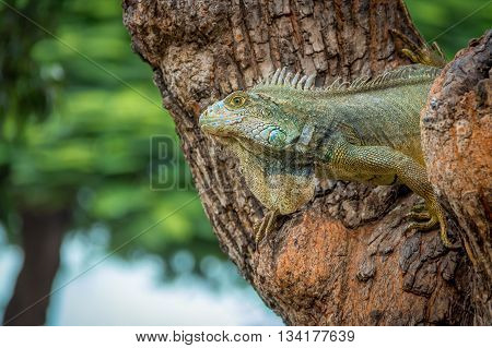 Iguana on a Seminario Park tree  - Guayaquil, Ecuador