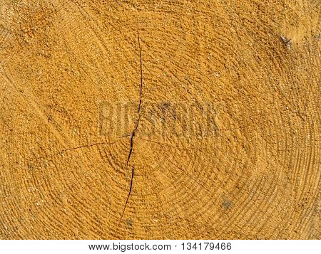 felled tree. annual rings on tree grate.