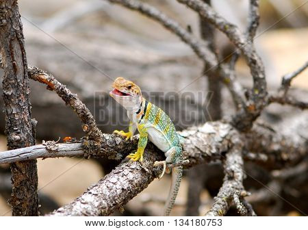 The Common Collard lizard sitting on a branch
