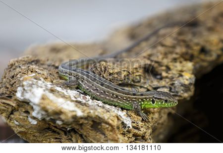 Little grey-green lizard is basking on the stones