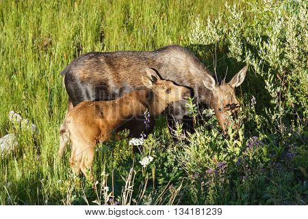 Mother moose and calf in summer in Jackson, Wyoming