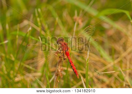 Macro of the dorsal view of a Red-Veined Darter resting on foliage in the grass.