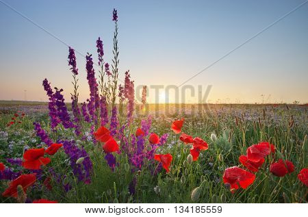 Meadow of spring poppy flowers. Natural landscape.