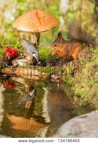 red squirrel standing under mushroom and nuthatch on it reflected in water