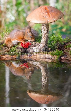 red squirrel reflection in water with mushroom