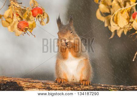 red squirrel is standing in rain under brier