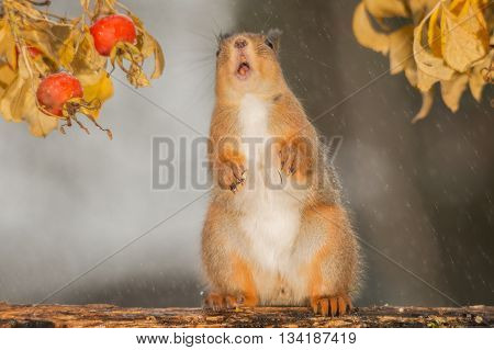 red squirrel standing in the rain with brier