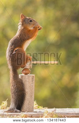 red squirrel sitting on a nutcracker with nut