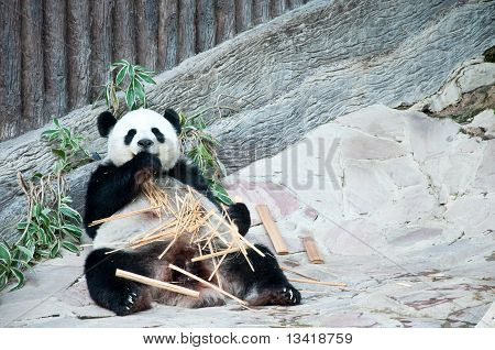 Feeding time. Giant panda