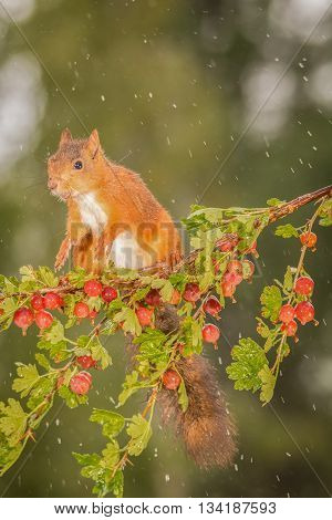 female red squirrel standing on branch with gooseberries