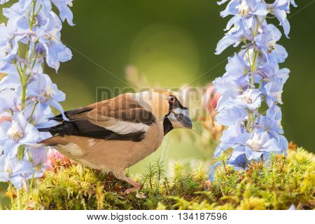 close up of haw finch standing with flowers