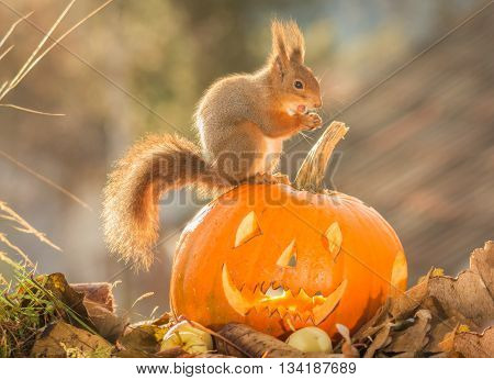 red squirrel standing on a pumpkin head