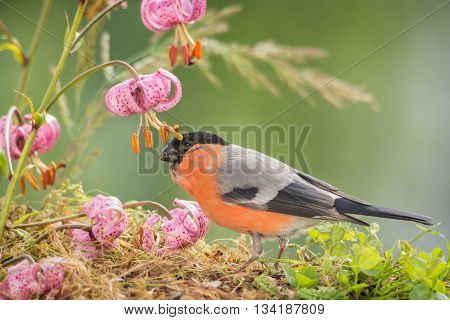 male bullfinch is standing with and under flowers